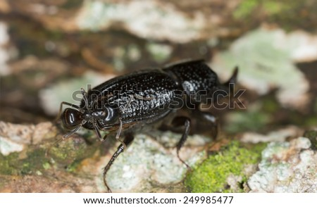 Rhinoceros Beetle, Sinodendron cylindricum attacked by ant - stock photo