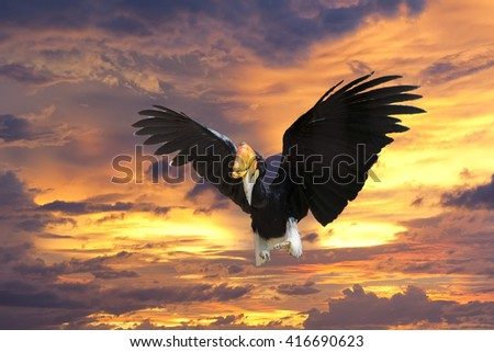 Rhinoceros Hornbill bird while flying to you - stock photo