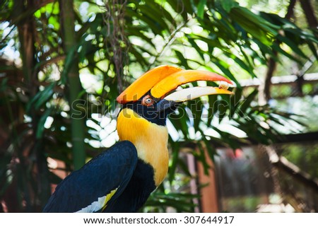 Rhinoceros Hornbill eating a banana. - stock photo