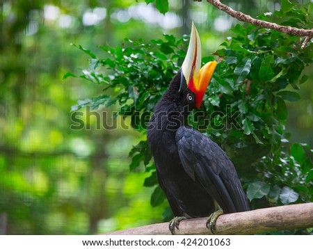 Rhinoceros Hornbill is one of largest hornbill, adults being approximately the size of swan 91-122cm long and weighing 2-3kg. It found in lowland and, tropical and in mountain rain forests in Borneo - stock photo