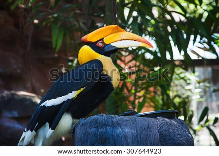 Rhinoceros Hornbill perched on a branch. - stock photo