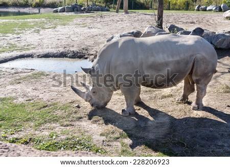 Rhinoceros in zoo enclosure - stock photo