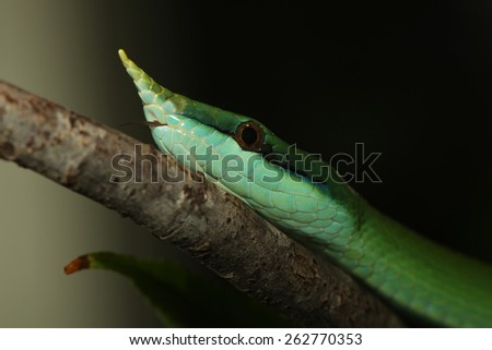 Rhinoceros Ratsnake {Rhynchophis Boulengeri} Also Known as (Rhinoceros Snake, Rhino Rat Snake, Vietnamese Longnose Snake, or Green Unicorn) Coiled on a Tree Branch  - stock photo