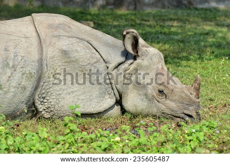 Rhinoceros resting on grass - stock photo