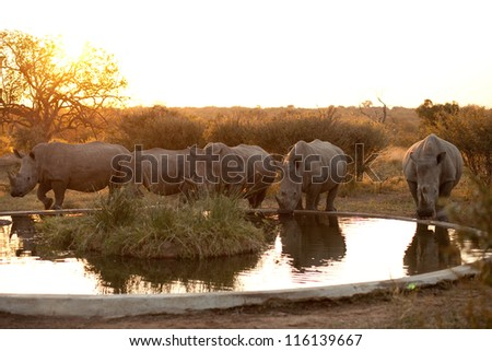 Rhinos at a watering hole, Kruger National Park - stock photo