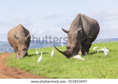 Rhinos Rhinos wildlife animals wilderness reserve safari summer landscape - stock photo