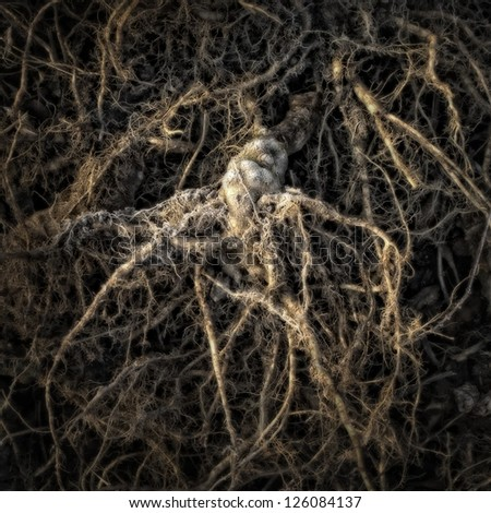 Rhizome on a Compost Heap/Artistically alienated to create a grungy somber atmosphere. - stock photo