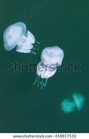 Rhizostoma. Dangerous jellyfishes of the Black sea, have long tentacles with stinging cells which can leave burns on the human skin. Selective focus - stock photo