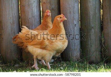 Rhode Island Red Hens - stock photo