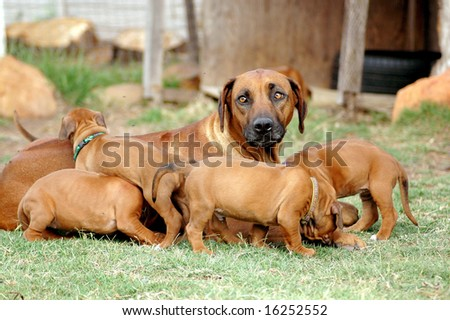 Rhodesian Ridgeback bitch and her cute little playing puppies - stock photo