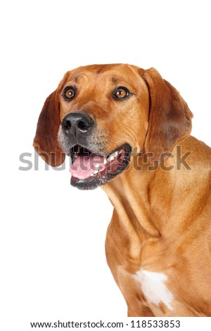 Rhodesian Ridgeback Dog  in studio on a white background - stock photo
