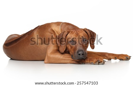 Rhodesian Ridgeback dog resting on a white background - stock photo