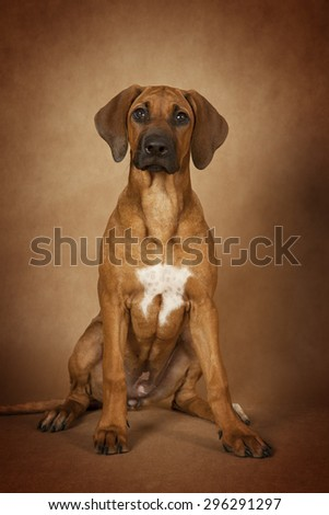 Rhodesian Ridgeback dog sitting in front of brown background