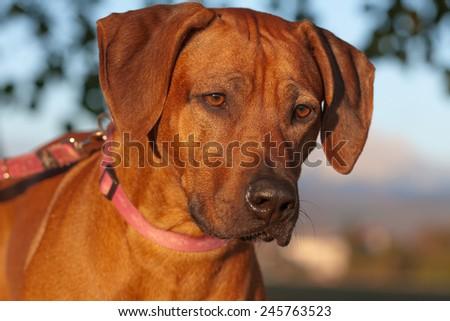 Rhodesian Ridgeback female dog in late afternoon sun - stock photo