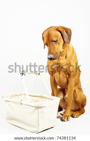 Rhodesian ridgeback hound dog is sitting and looking with very sad expression in an empty shopping bag, isolated on white background - stock photo