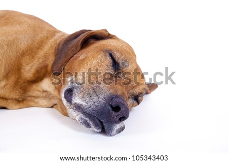 Rhodesian ridgeback male dog 10 years lying and sleeping, Closeup - stock photo