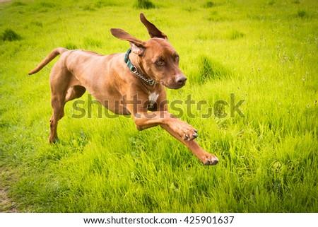 Rhodesian Ridgeback male running. - stock photo