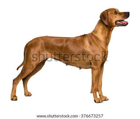 Rhodesian Ridgeback on white background - stock photo