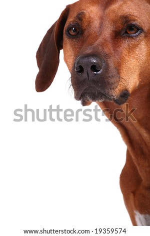 rhodesian ridgeback over white background, plenty of copy space - stock photo