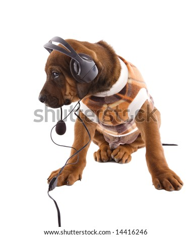 Rhodesian ridgeback puppy with a blanket coat suit, listening some music . - stock photo