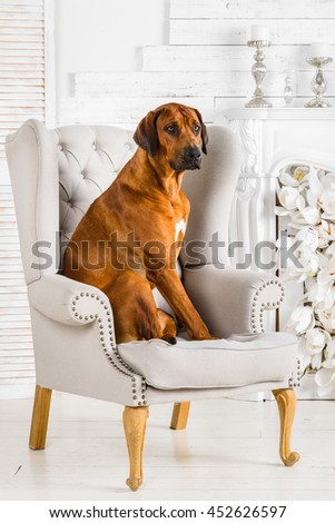 Rhodesian Ridgeback sitting on an armchair in front of fireplace - stock photo
