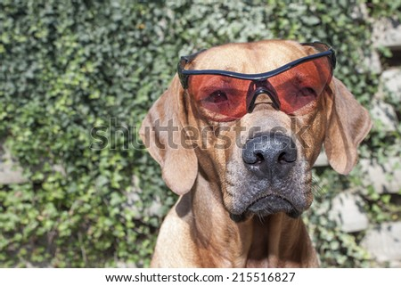 Rhodesian ridgeback with sunglasses, detail, funny photo - stock photo