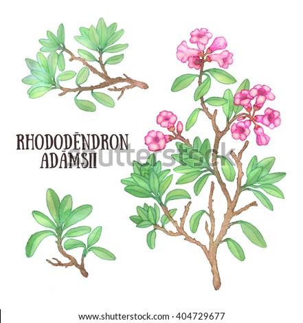 Rhododendron adamsii sagan-dali labrador tea bush watercolor illustration - stock photo