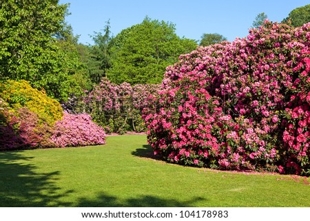 Rhododendron and Azalea Bushes in Beautiful Summer Garden in the Sunshine - stock photo