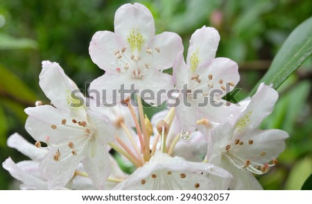 Rhododendron bloom shown just after a summer rain storm with water droplets visible on flowers. (Rhododendron wardii) - stock photo