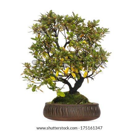 Rhododendron bonsai tree, isolated on white - stock photo