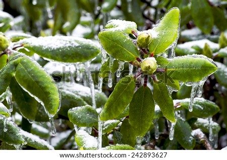 Rhododendron bud with leaves trapped in ice - stock photo
