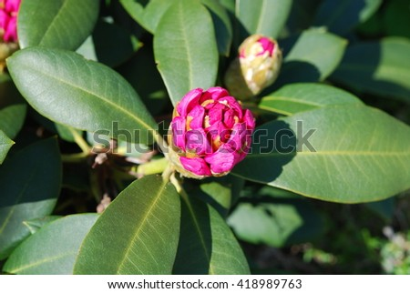rhododendron buds in spring - stock photo