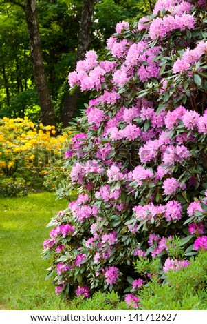 Rhododendron Bushes in Summer Garden - stock photo