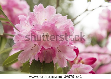 Rhododendron flower after the rain - stock photo