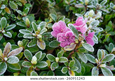 Rhododendron flowers covered with frost  - stock photo