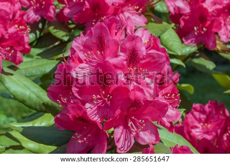 Rhododendron (Rhododendron ponticum)  red flower closeup photo. - stock photo