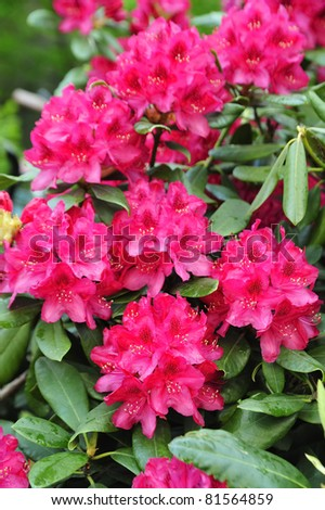 Rhododendrons starting to bloom in Stockholm, Sweden. - stock photo