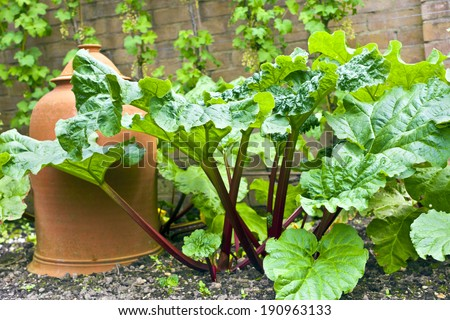 Rhubarb plant and a terracotta cloche in a vegetable patch. - stock photo