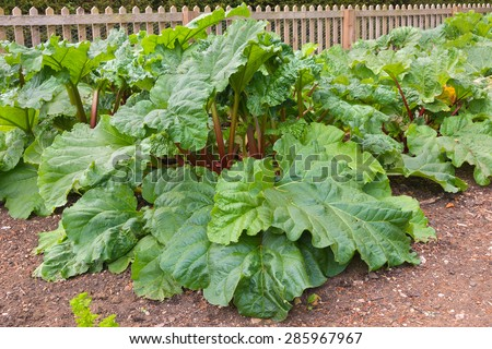 Rhubarb plants growing in a vegetable kitchen garden - stock photo
