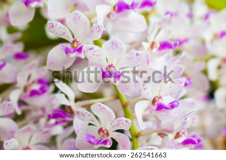 Rhynchostylis gigantea. ,orchid flower, tropical, flower background - stock photo