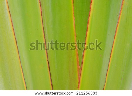 Ribbed leaf or Scientific name is Travellers palm. - stock photo