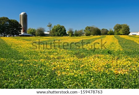 Ribbons of green and gold decorate a farmers field. Soybean is a species of legume native to East Asia, widely grown for its edible bean which has numerous uses including oil. - stock photo