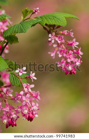 Ribes sanguineum (Flowering Currant or Red-flowering Currant) is a species of currant native to western coastal North America from central British Columbia south to central California. - stock photo