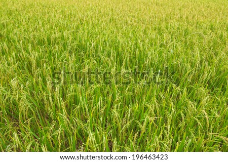 Rice field background landscape, Rice in the rice field - stock photo