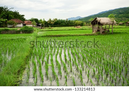 Rice field. Bali, Indonesia - stock photo