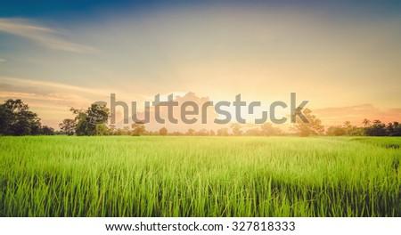 Rice field green grass landscape sunset ,vintage - stock photo