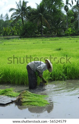 Rice field in asia - stock photo