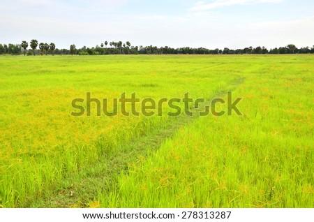 Rice field in Chiang Rai - stock photo