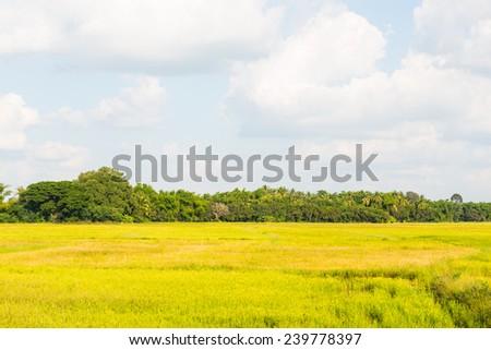 Rice field in winter season, Thailand. - stock photo