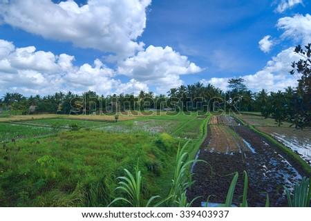 Rice field near town Ubud in Bali - stock photo